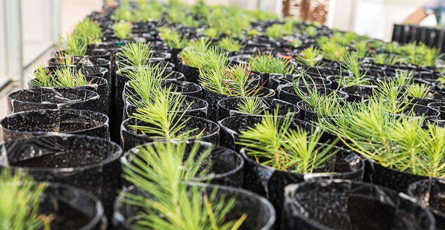pine tree seedlings in a greenhouse
